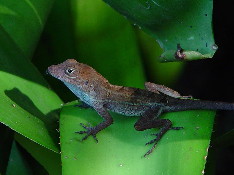 Salamander aus der Dominikanischen Republik