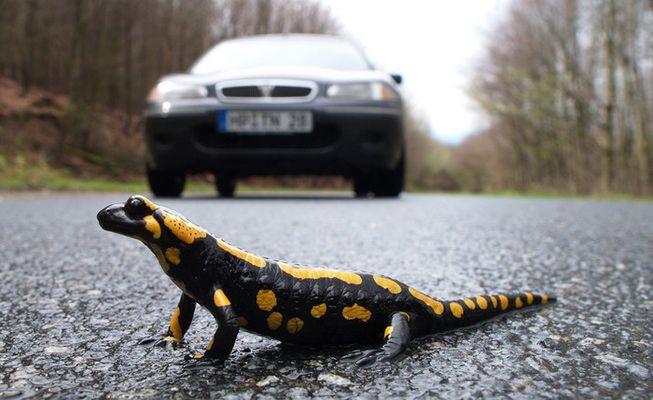 Salamander hat Vorfahrt