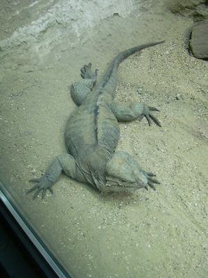 Salamander (oder Rieseneidechse)?