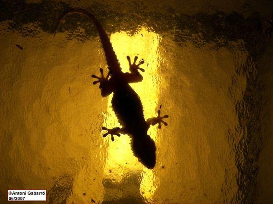 Salamandra al calor del farol