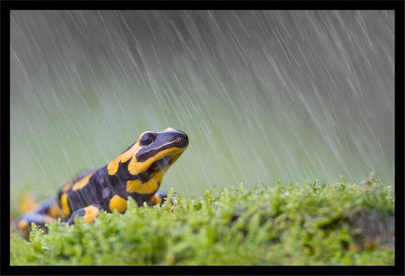 Salamandre tachetée sous la pluie.
