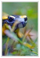 Salamandre terrestre dans son biotope