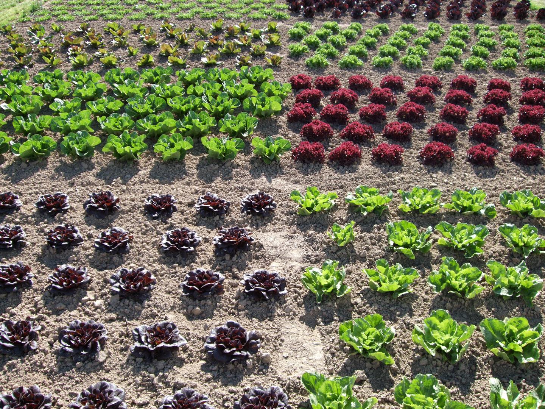 salat foto bild pflanzen pilze flechten getreide. Black Bedroom Furniture Sets. Home Design Ideas