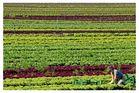 Salatstreifen