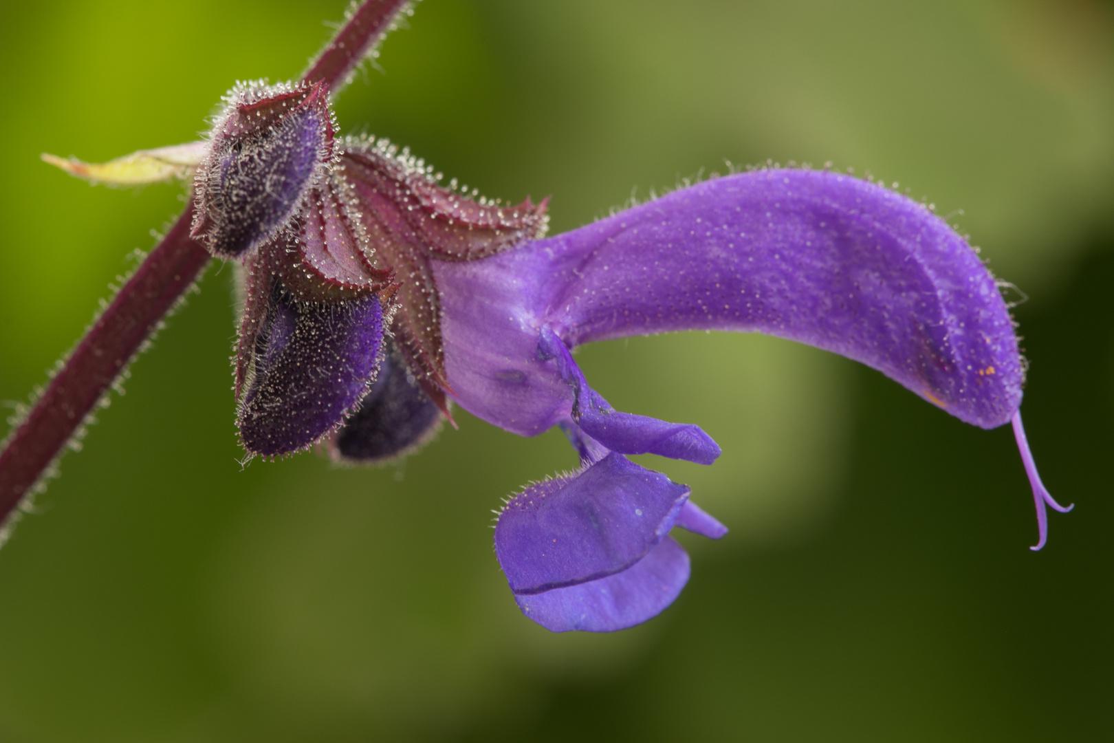 Salbei bl te foto bild natur pflanzen bl ten bilder auf fotocommunity - Wandfarbe salbei kaufen ...