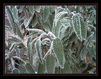 Salbei im Frost