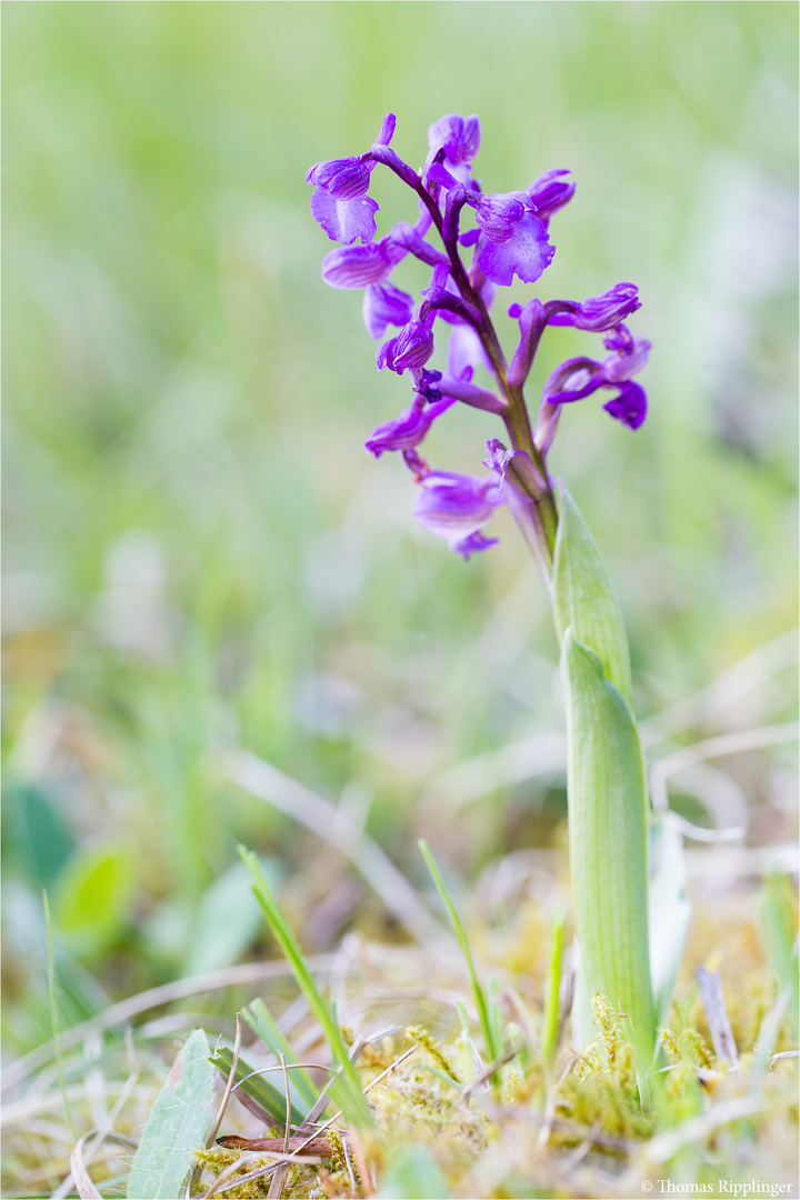 Salep-Knabenkraut (Orchis morio) ......