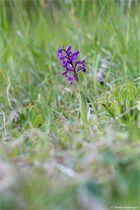 Salep-Knabenkraut (Orchis morio) ....