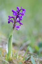 Salep-Knabenkraut (Orchis morio)