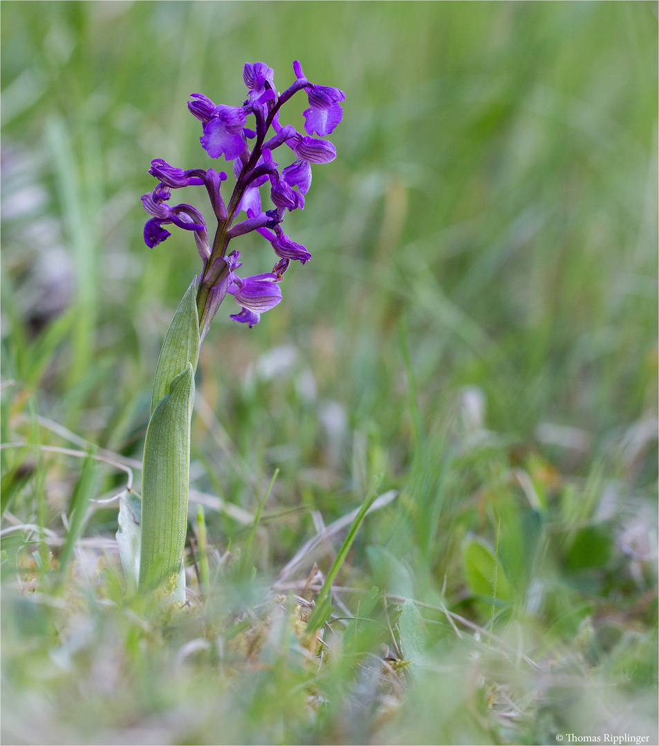 Salep-Knabenkraut (Orchis morio) ...