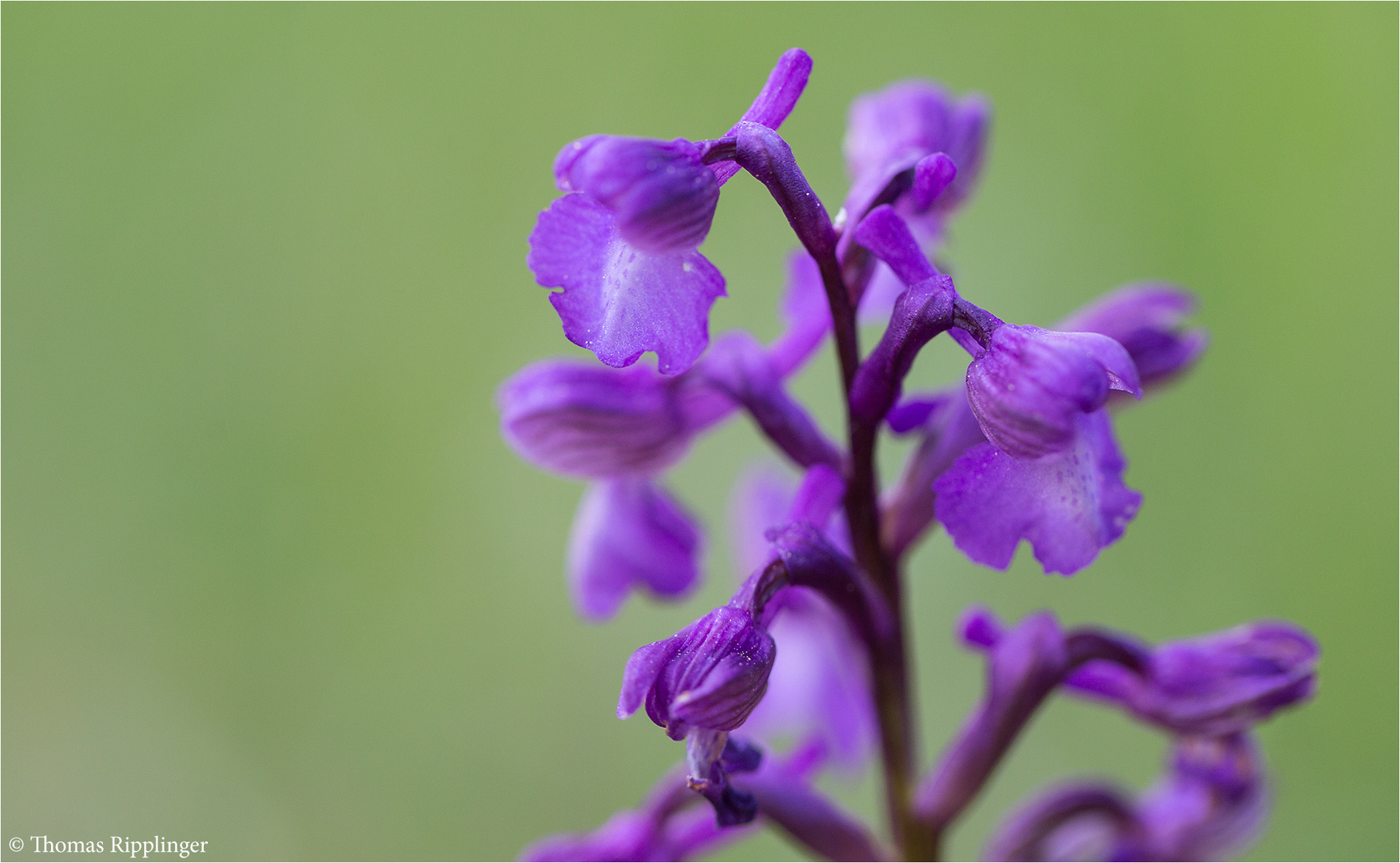 Salep-Knabenkraut (Orchis morio) .........
