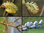 Salix - aber welche Art genau?