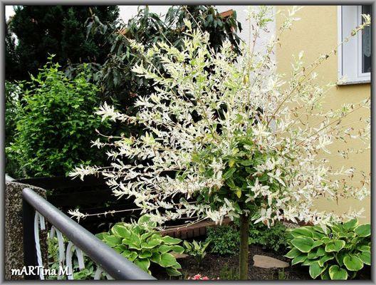 Salix Hakuro Nishiki