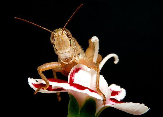 Saltamontes (Eyprepocnemis plorans)
