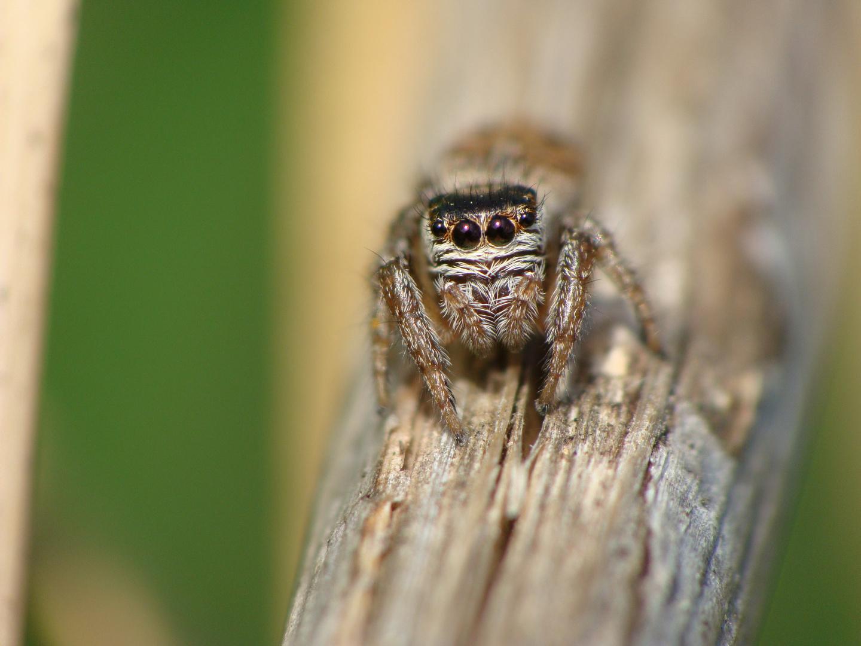Salticidae sp.