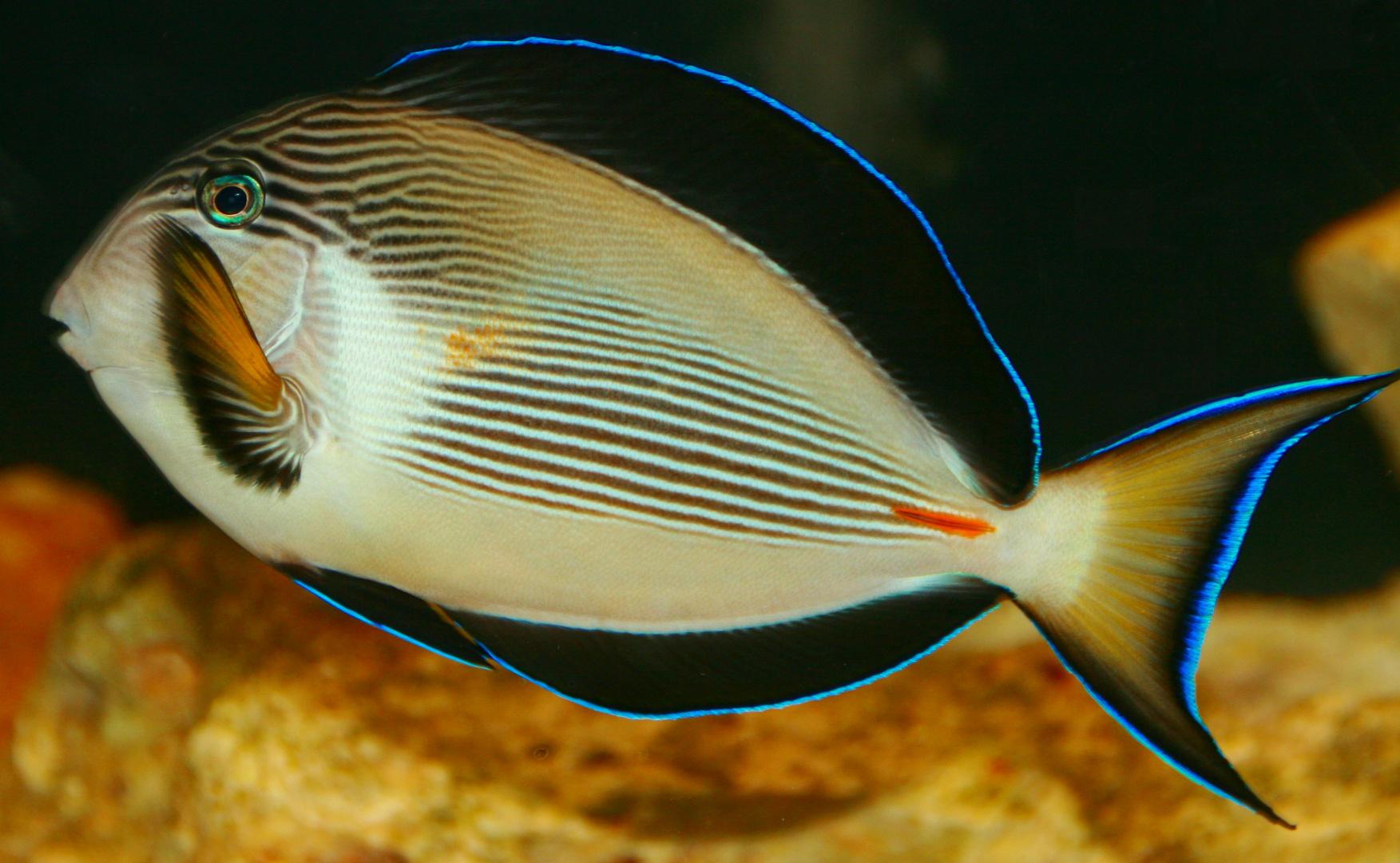 Salzwasser Fisch