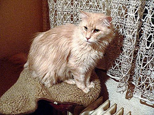Sam, unser Maine Coon Neuzugang, geb. 22.06.2004