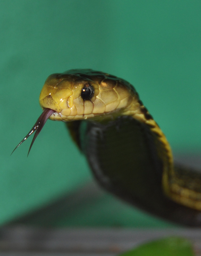 Samar-Kobra ( Naja samarensis )