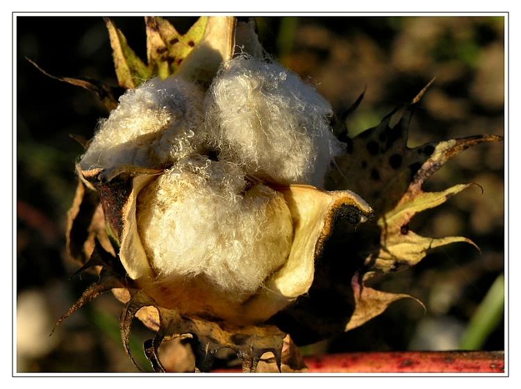 Samenkapsel der Baumwolle