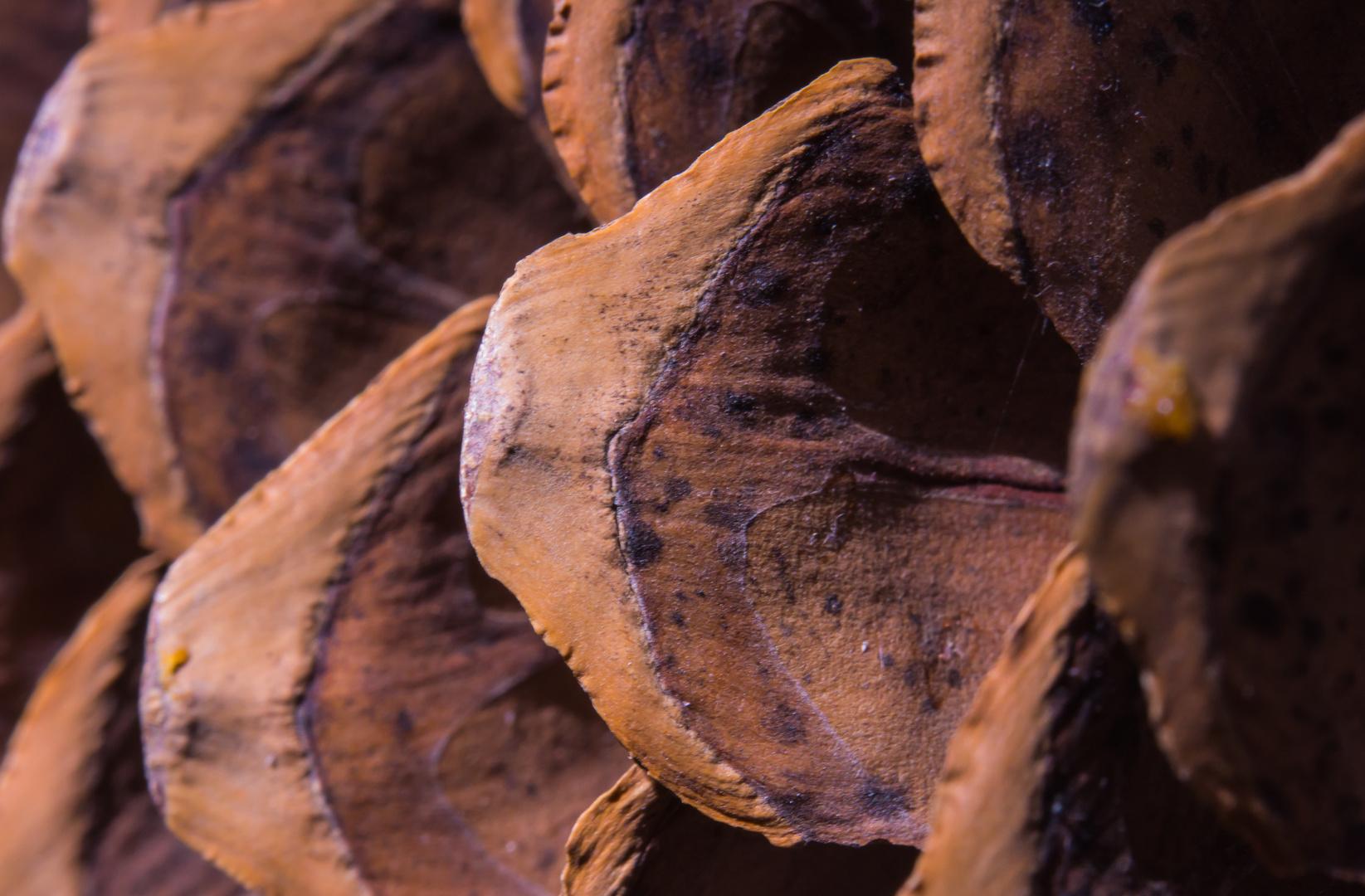 Samenschuppen im Zapfen einer Zucker-Kiefer