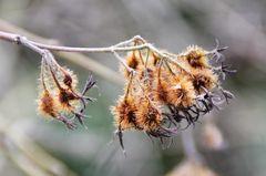 Samenstände der Kolkwietzie