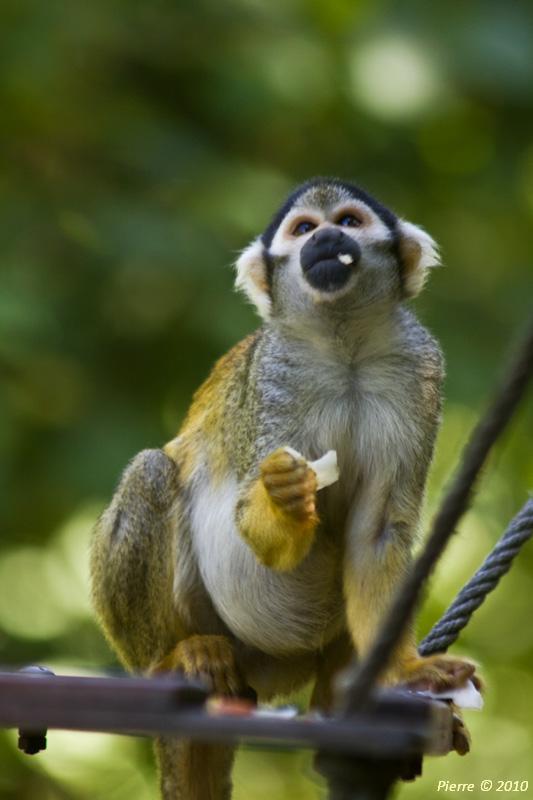 Saïmiri (singe écureuil)