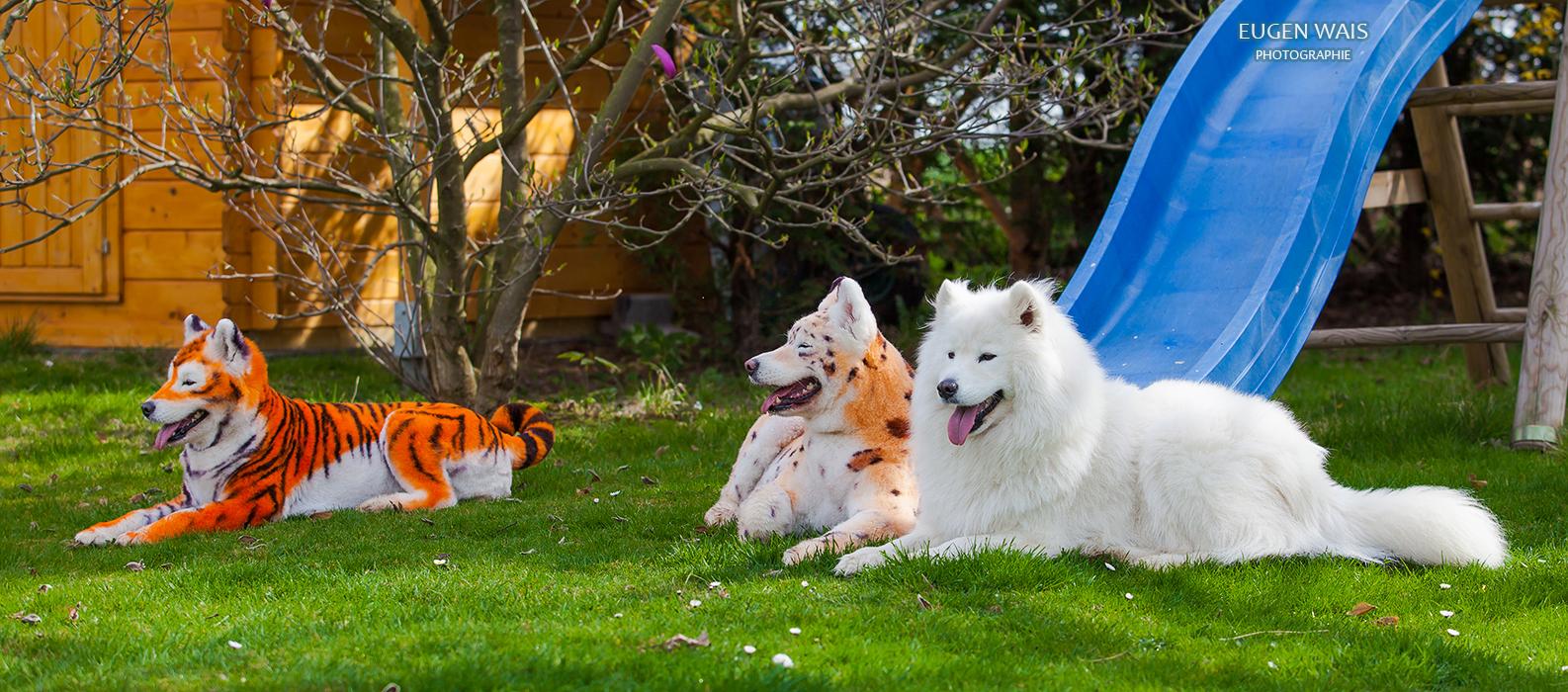samoyed dog repainted on leopard and tiger. Samoyed dog