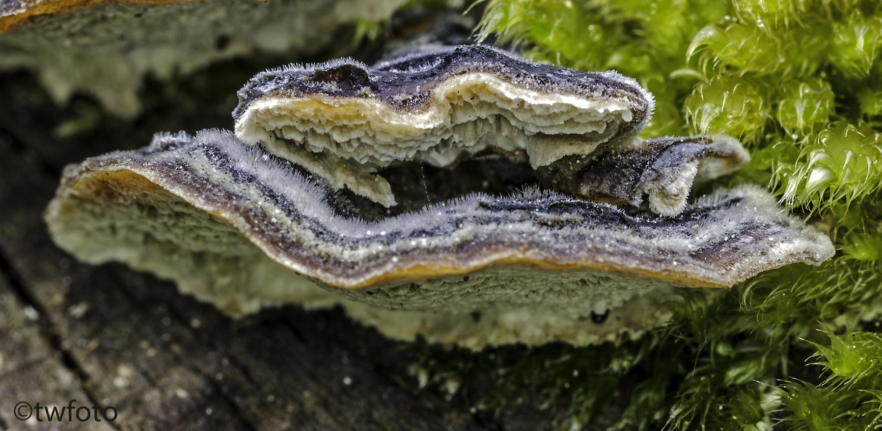 Samtiger Schichtpilz (Stereum subtomentosum)
