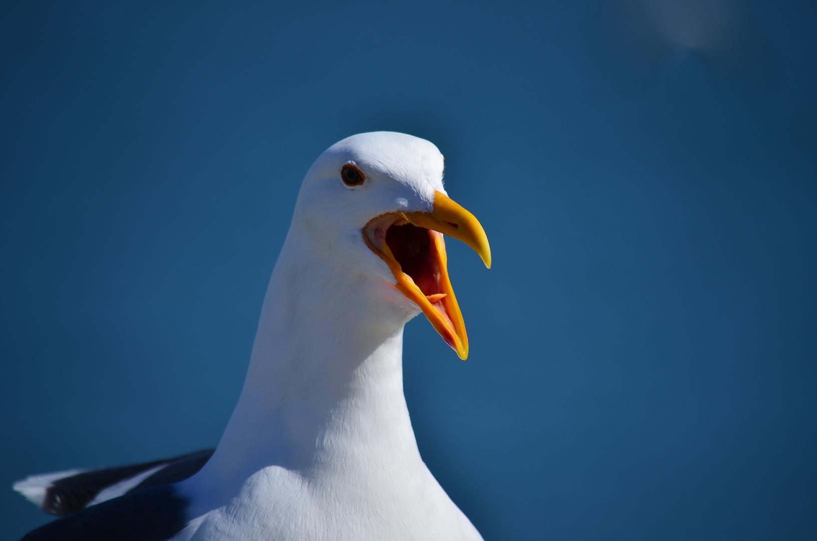 San Francisco Gull