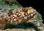 Sand-Eidechsenfisch