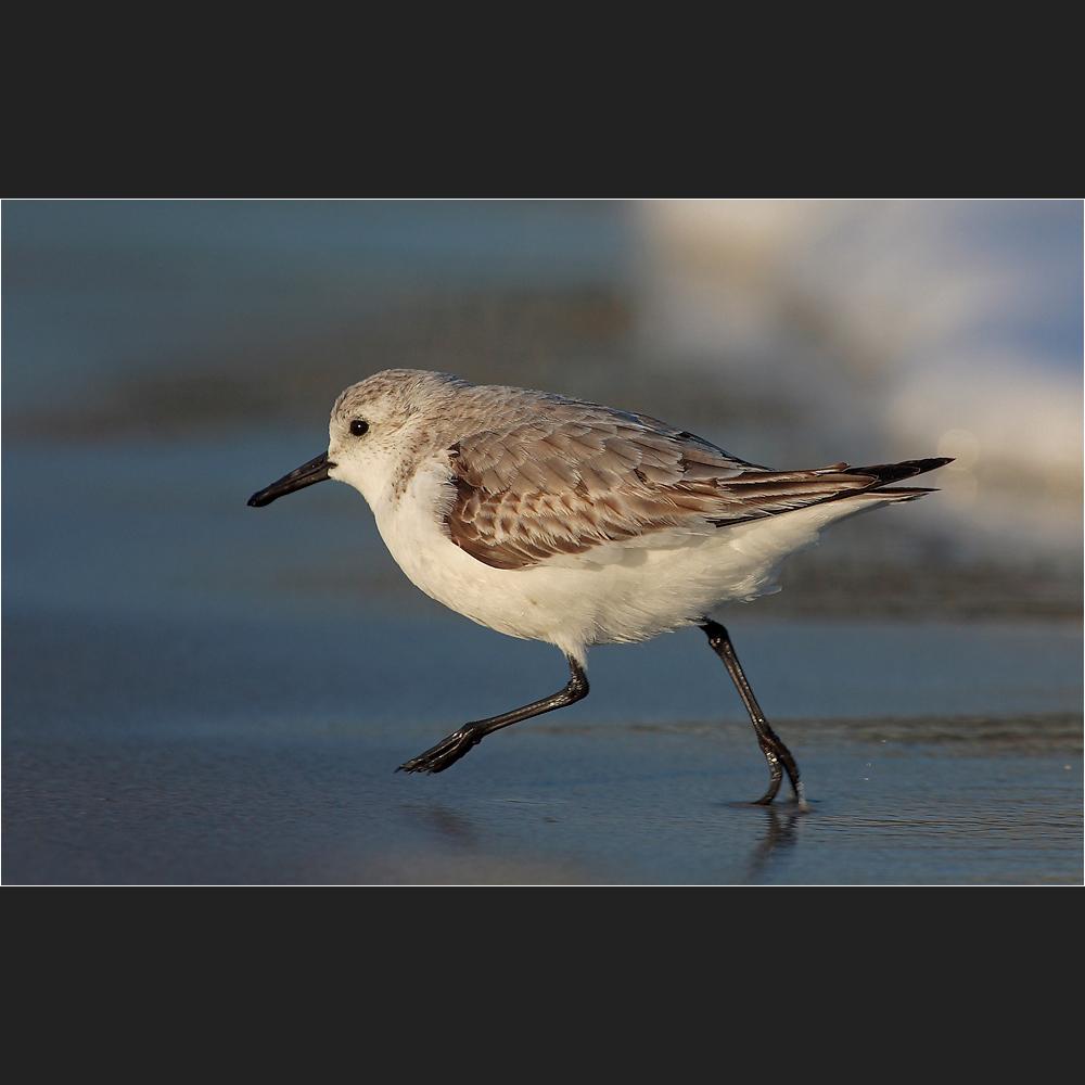 [ sanderling ]