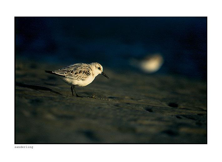 sanderling.......