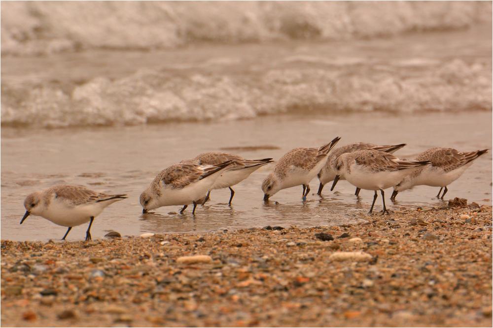 Sanderlinge auf der Düne Helgoland . . .