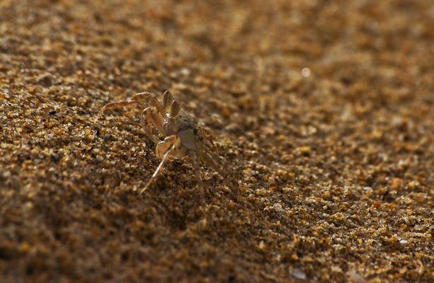 Sandkrebs
