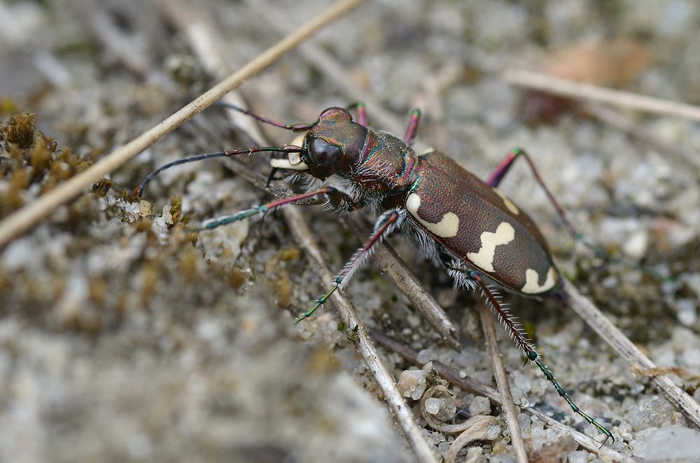 Sandlaufkäfer (Cicindelinae)