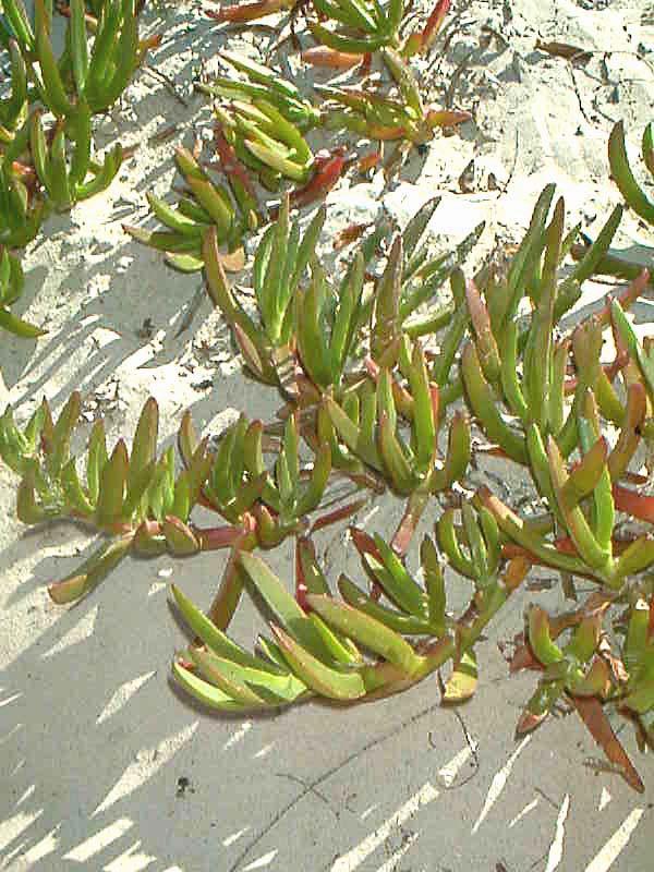 Sandpflanze