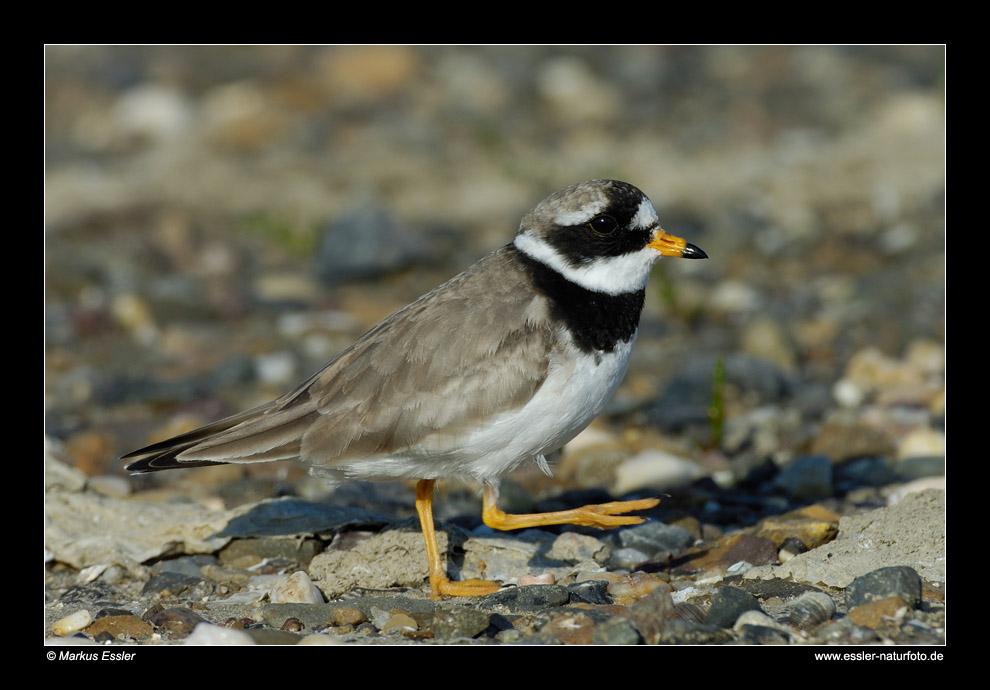 Sandregenpfeifer (Männchen) • Insel Texel, Nord-Holland, Niederlande (29-21458)
