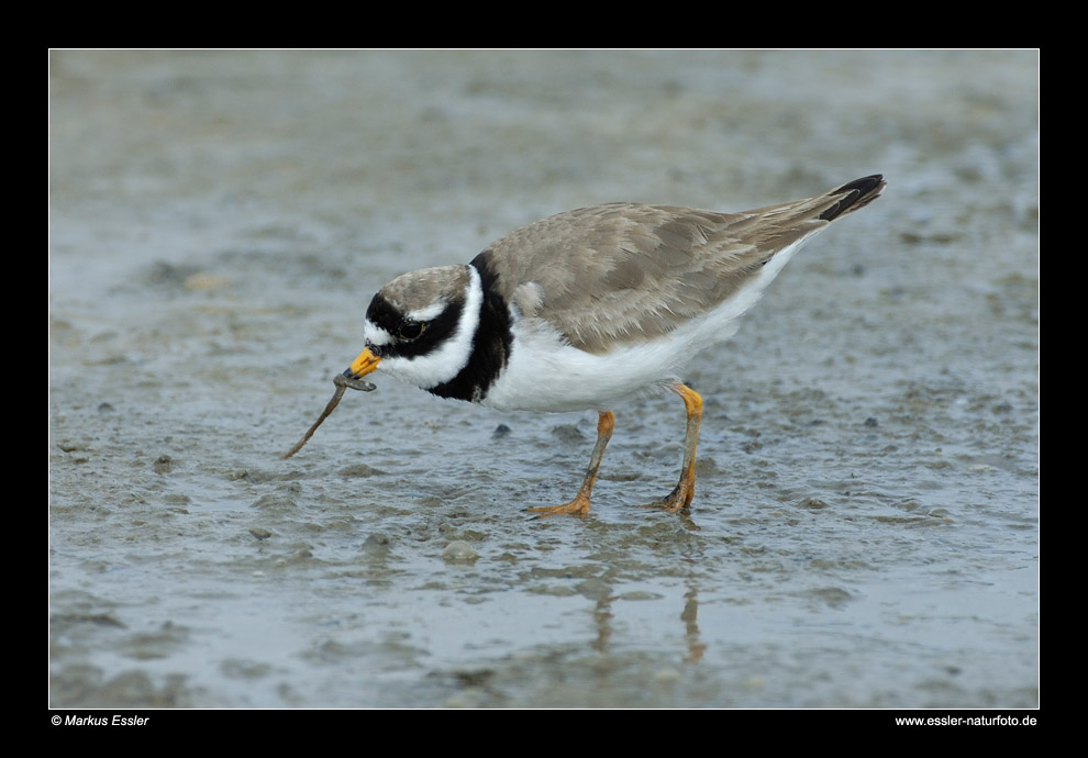 Sandregenpfeifer (Männchen) mit Beute • Insel Texel, Nord-Holland, Niederlande (29-21450)