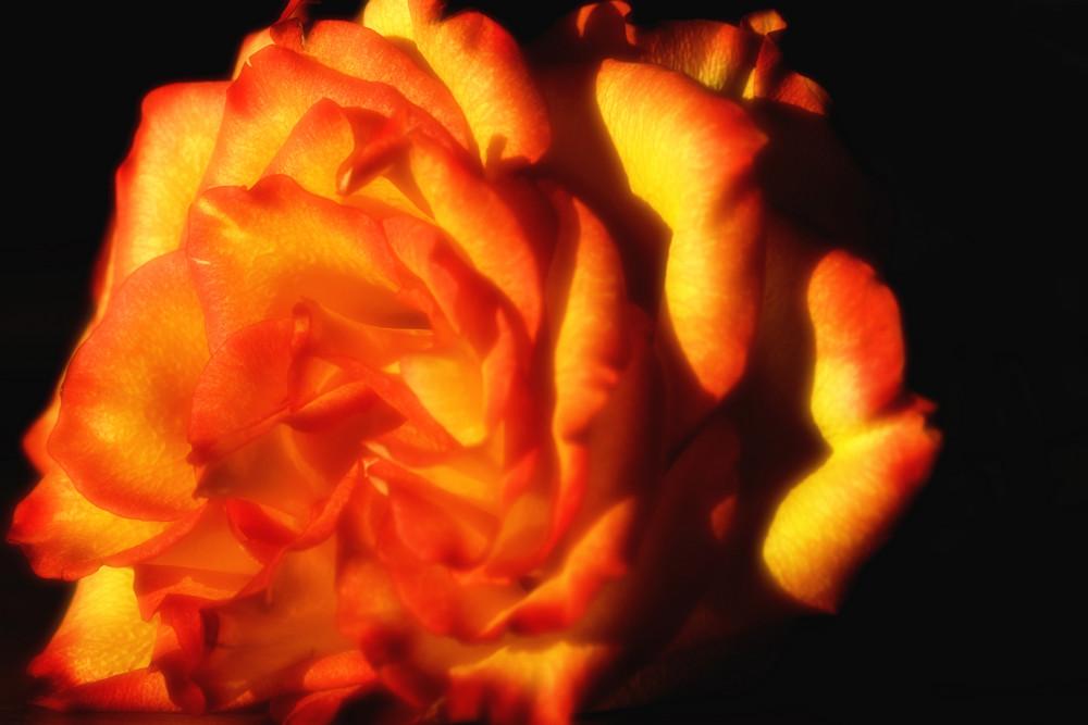 Sanfte Rose