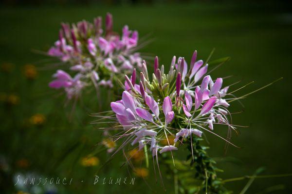 Sanssouci - Blumen
