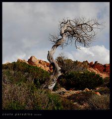 Sardegna - Costa Paradiso - Fauna & Flora - vom wind geprägt