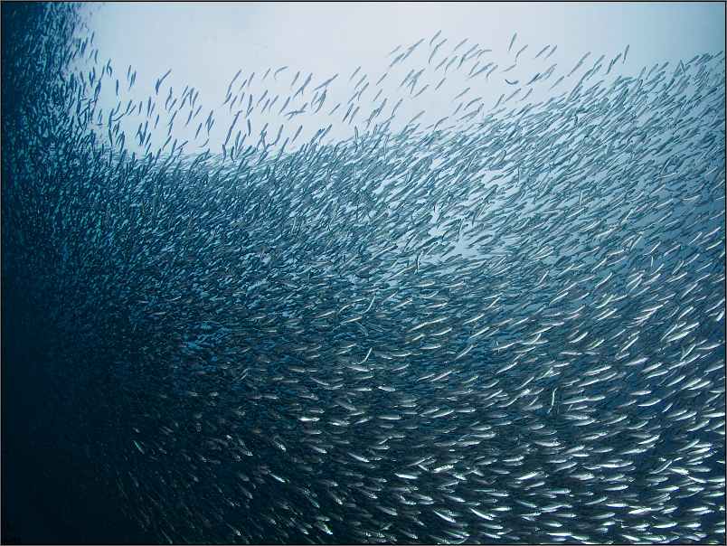 Sardines Wall