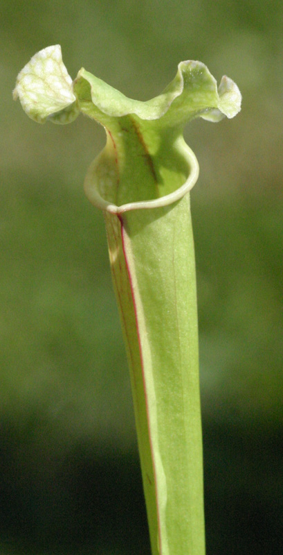 Sarracenia leucophylla