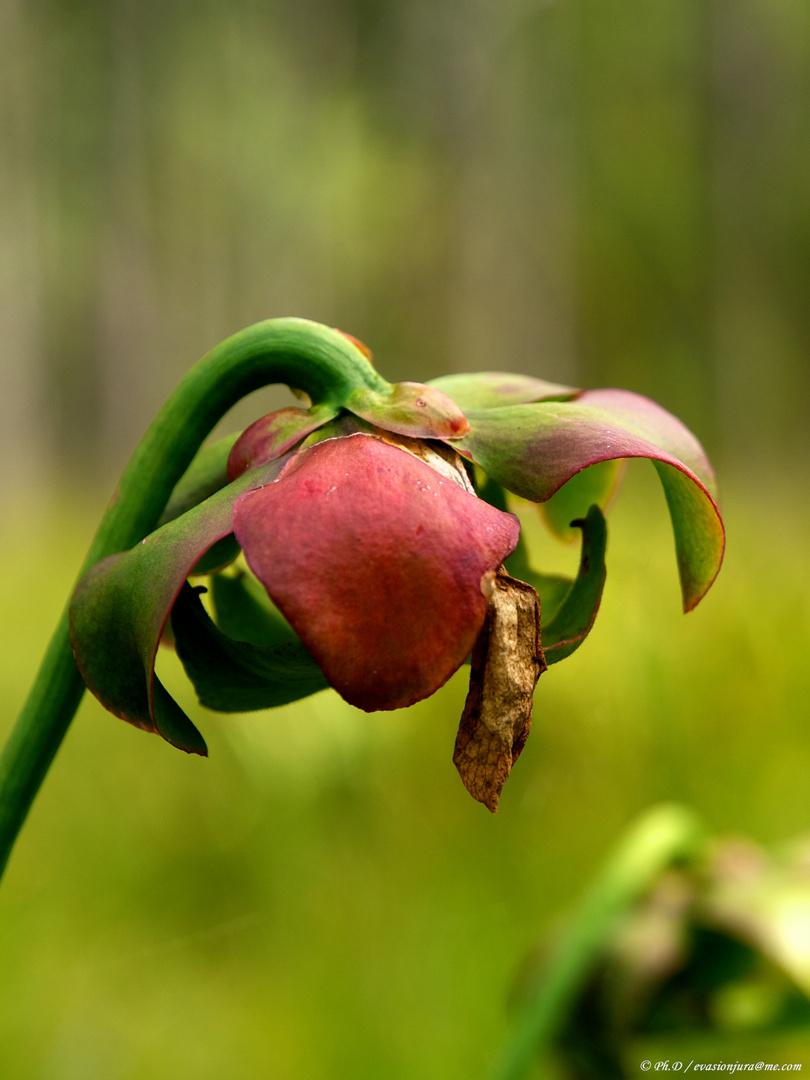 Sarracenia.purpurea Couleur d'automne