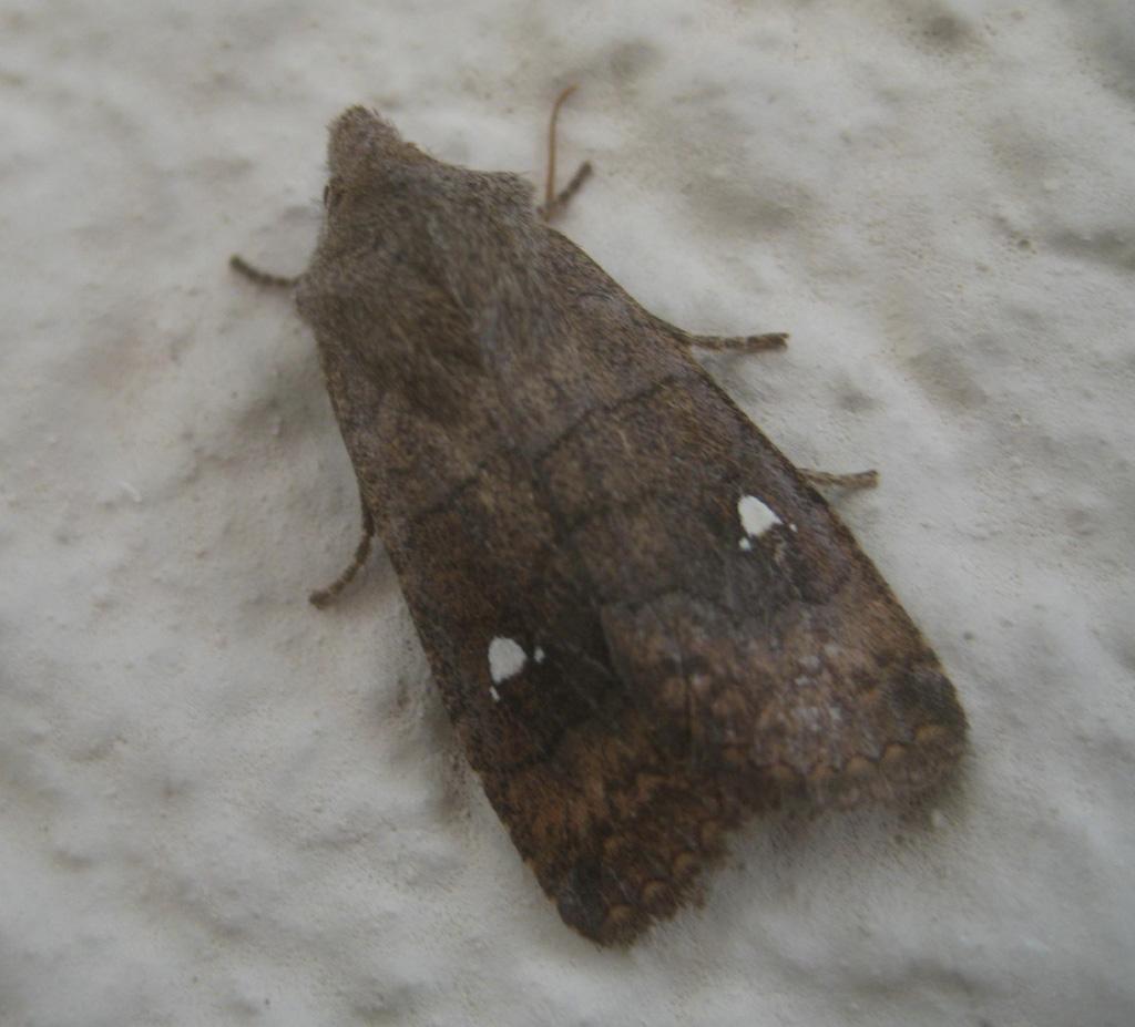 Satelit Wintereule- Eupsilia transversa