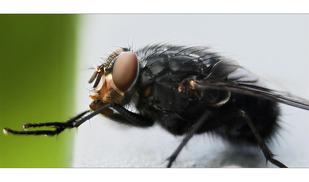 Satte Fliege