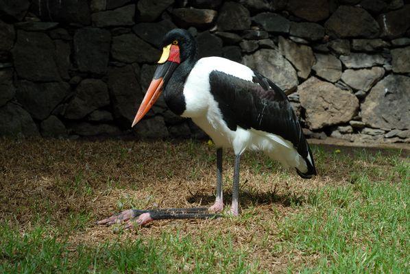 Sattelstorch (Ephippiorhynchus senegalensis)