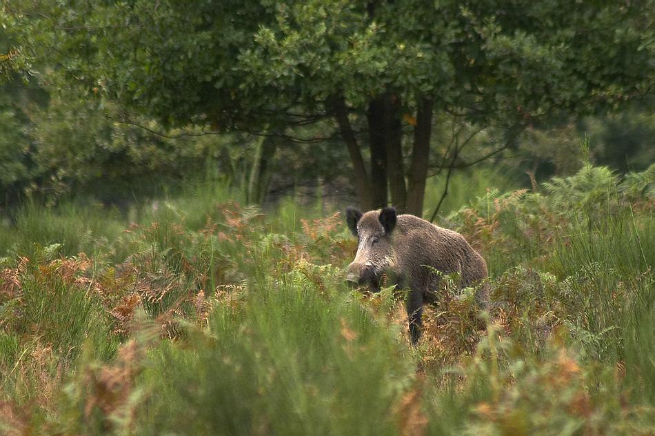 Sau im Geisterbusch - Wahner Heide