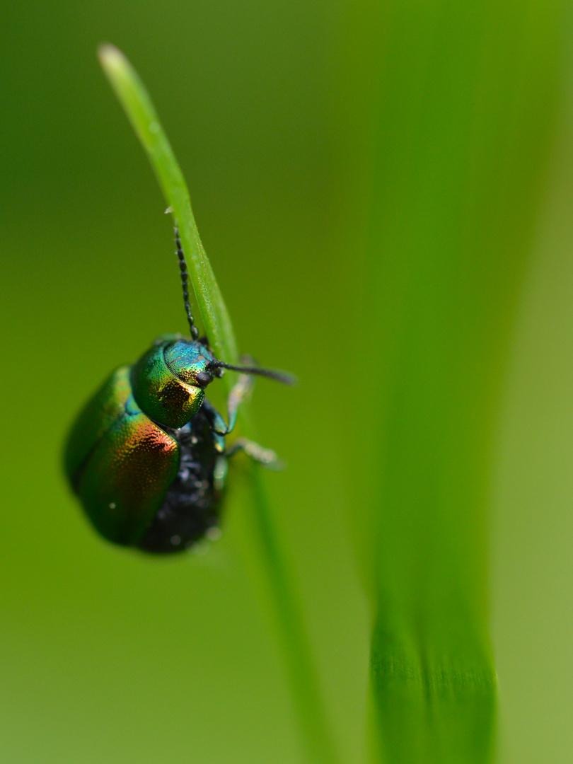 Sauerampferkäfer