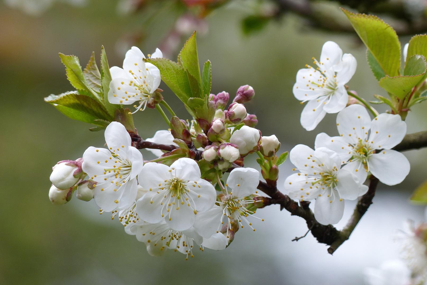 Sauerkirschblüte